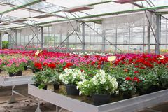 Cultivation Petunias Geraniums greenhouse, Netherlands Stock Image