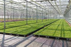 Cultivation of plants in a Dutch greenhouse Stock Photos