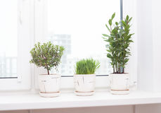 Cultivation of plants on the windowsill. Cultivation of medicinal and spice plants on the windowsill stock photography