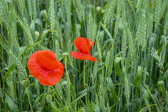 Cultivation of poppies (Papaver rhoeas) on the field Stock Image