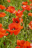 Cultivation of poppies (Papaver rhoeas) on the field Stock Images