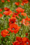 Cultivation of poppies (Papaver rhoeas) on the field Royalty Free Stock Photos