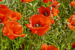 Cultivation of poppies (Papaver rhoeas) on the field Royalty Free Stock Photo