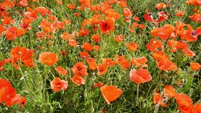 Cultivation of poppies (Papaver rhoeas) on the field stock footage