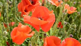 Cultivation of poppies (Papaver rhoeas) on the field stock video