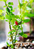 Cultivation of red chili pepper on a windowsill Stock Image