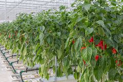 Cultivation of red paprika in Dutch greenhouse Royalty Free Stock Images