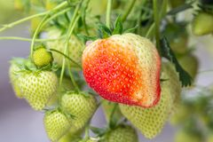 Cultivation of red strawberries in Dutch greenhouse Royalty Free Stock Photos