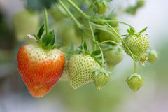 Cultivation of red strawberries in Dutch greenhouse Royalty Free Stock Photography