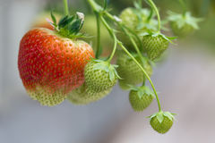 Cultivation of red strawberries in Dutch greenhouse Royalty Free Stock Photo