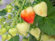 Cultivation of red strawberries in Dutch greenhouse Royalty Free Stock Image