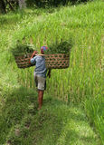Cultivation of rice Royalty Free Stock Image