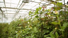 The cultivation of roses in greenhouses stock video footage