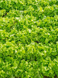 Cultivation of Salad Stock Images