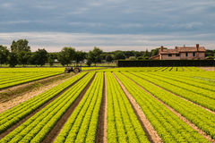 Cultivation salad. Regular rows of lettuce grown Stock Photo