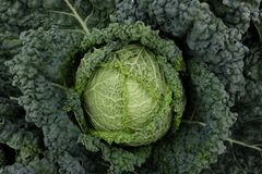 Cultivation of savoy cabbage Stock Photos