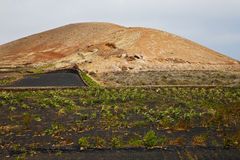 Cultivation wall crops. Cultivation viticulture winery lanzarote spain la geria vine grapes wall crops stock photography