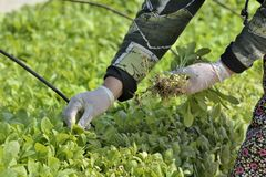 Cultivation. When seedling cultivation tobacco human hand weeding garden and taking care for plants Stock Photos