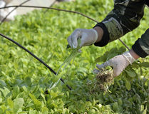 Cultivation. When seedling cultivation tobacco human hand weeding garden and taking care for plants Stock Photo
