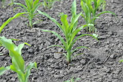 Young corn sprouts. Corn growing on the field Royalty Free Stock Images