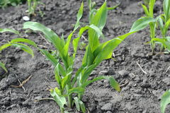 Corn growing on the field. Young corn sprouts Royalty Free Stock Photos