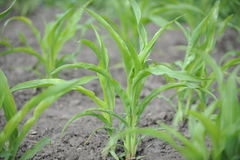 Corn growing on the field. Young corn sprouts Royalty Free Stock Image