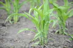 Young corn sprouts. Corn growing on the field Stock Photos