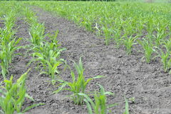 Young corn sprouts. Corn growing on the field Royalty Free Stock Photo