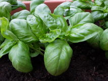 Cultivation of a specific type of basil. Called basil of Albenga in pot Royalty Free Stock Images