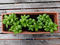 Cultivation of a specific type of basil called basil. Of Albenga in pot Stock Images