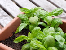 Cultivation of a specific type of basil called basil of Albenga. In pot Stock Photo