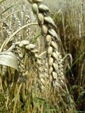 Close up of wheat ears in summer. Cultivation of staple foods, wheat cultivation, cereal crops, Vegetable development stage, wheat grain in the mature Phase royalty free stock images