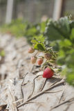 Cultivation of strawberries closeup view. In phetchaboon thailand Stock Photography