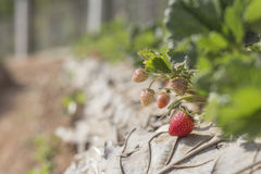 Cultivation of strawberries closeup view. In phetchaboon thailand Royalty Free Stock Image