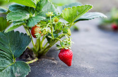 Cultivation of strawberries. The cultivation of strawberries in the garden in summer, beautiful green bushes of strawberries Stock Image