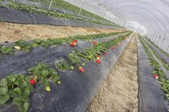 Cultivation of strawberries under greenhouses in Basilicata in s Stock Image