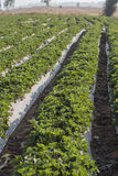 Cultivation strawberry royalty free stock photos