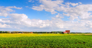 Cultivation of sugar beets in a newly created Dutch polder Stock Image