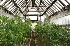 Cultivation  tomato. Hothouse economy. Cultivation a tomatoes Royalty Free Stock Photo