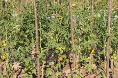 Cultivation tomato on a farmer kitchen garden during Royalty Free Stock Photos