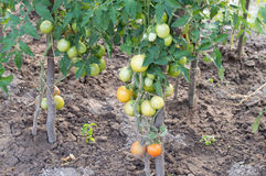 Cultivation tomato on a farmer kitchen garden during Stock Photo