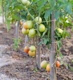 Cultivation tomato on a farmer kitchen garden during Stock Photos