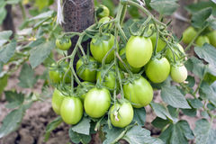 Cultivation of tomatoes Royalty Free Stock Photo