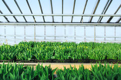 Cultivation of tulips in greenhouse  perspective. Industrial Cultivation of tulips in big greenhouse  perspective background Stock Photo