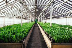 Cultivation of tulips in greenhouse  perspective. Industrial Cultivation of tulips in big greenhouse  perspective background Royalty Free Stock Photos