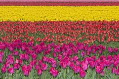 Cultivation of tulips for producing tulip bulbs Royalty Free Stock Photos