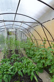 Cultivation of vegetables in the greenhouse Royalty Free Stock Images
