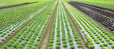 Cultivation of vegetables Royalty Free Stock Photos