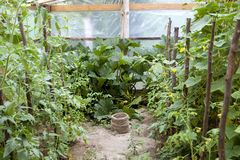 Cultivation of vegetables - tomato and cucumbers Royalty Free Stock Photo