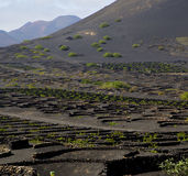 Cultivation  viticulture  winery lanzarote spain Royalty Free Stock Photos
